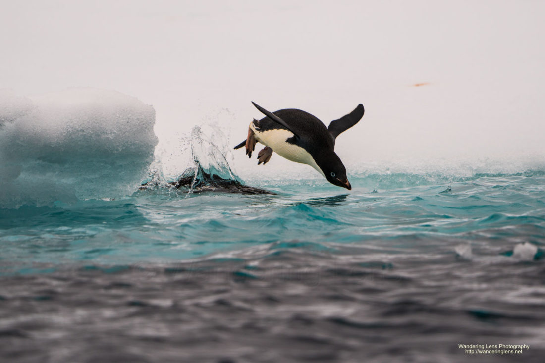 An Adelie Penguin going for a swim.