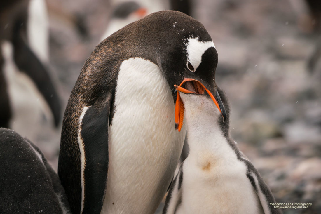 Feeding time for a young Gentoo