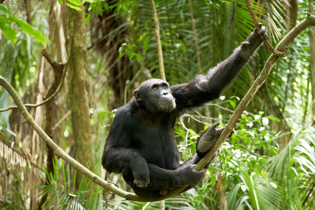 How a chimpanzee makes a hammock