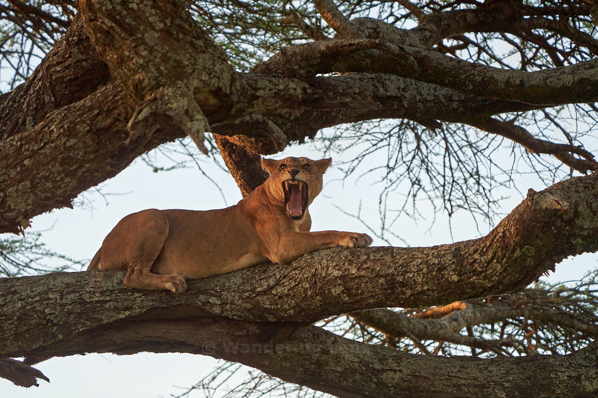 A female lion resting in a tree